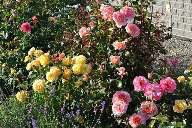 Можно ли посадить садовую розу в горшок дома. условия домашнего выращивания роз
