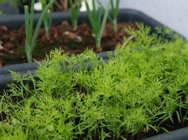 Сроки всхожести укропа при различных условиях выращивания