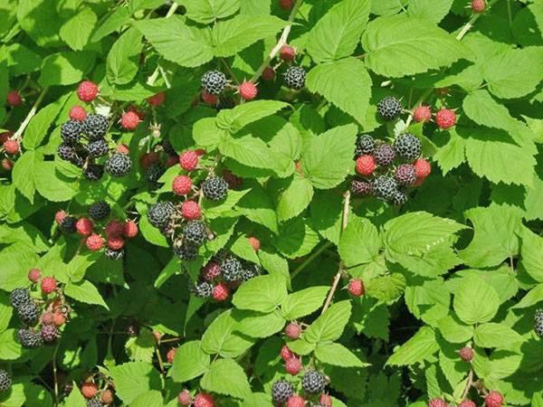 Малина: лечебные свойства и выращивание