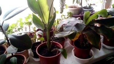 Цветок стрелиция — как выращивать и ухаживать