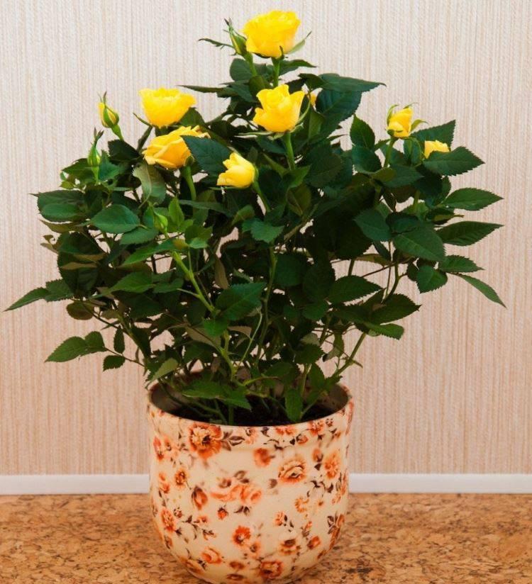 6 секретов, как ухаживать за комнатной розой. она обязательно будет цвести!