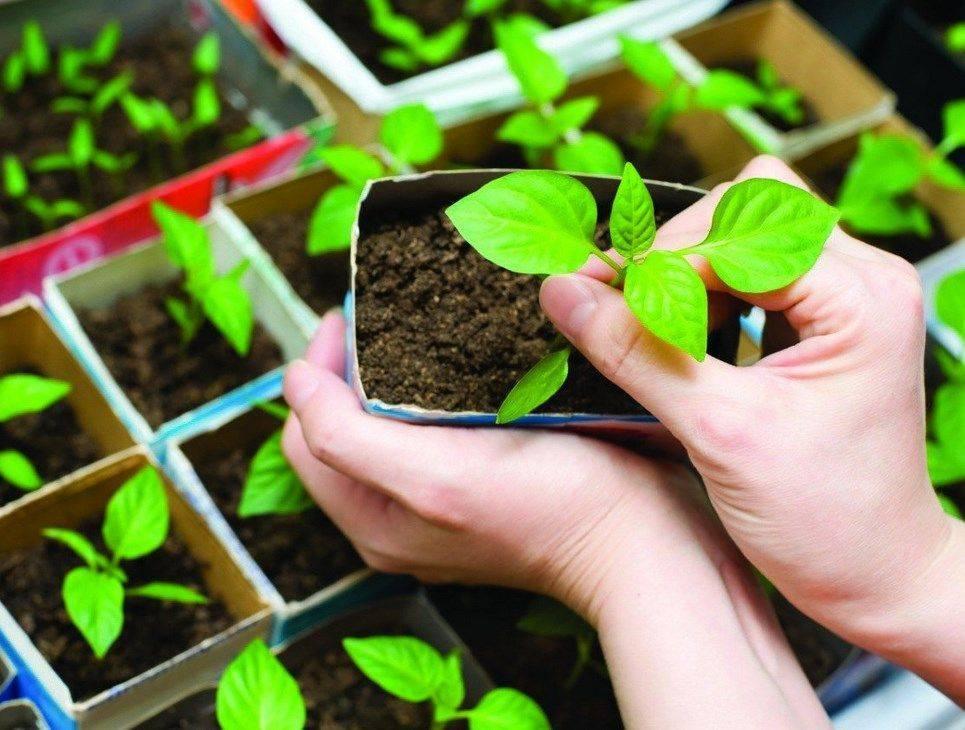 Как правильно выращивать петрушку в открытом грунте