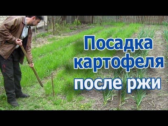 Описание посадки картофеля «под лопату»