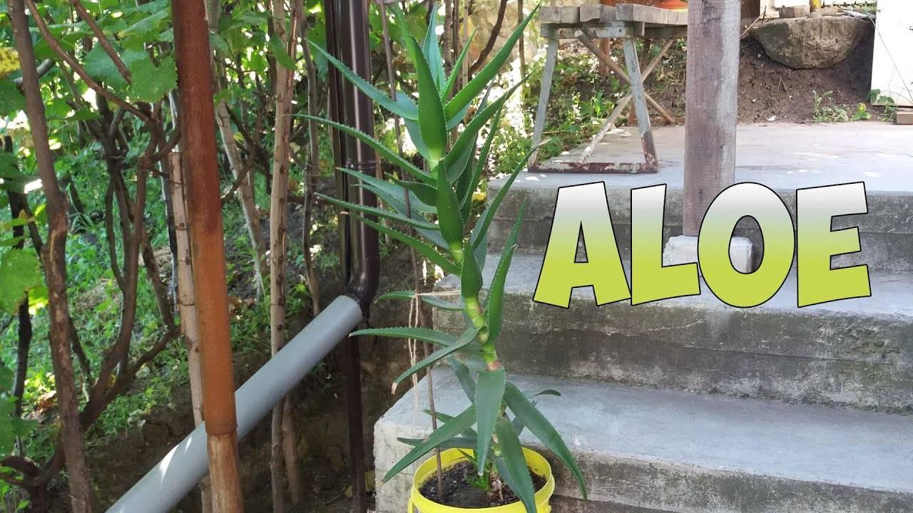 Как размножить алоэ в домашних условиях?