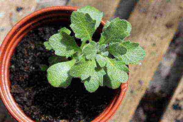 Обриета выращивание из семян: когда сажать