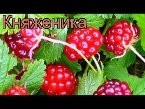 Княженика: что это за ягода и будет ли расти диковинка в средней полосе?