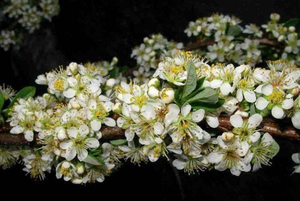 Вишня бессея: подробное описание растения