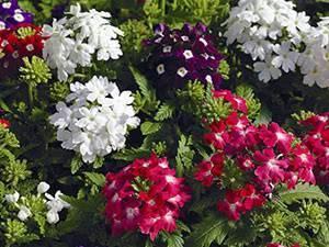 «голубиная трава» вербена: посадка и уход в открытом грунте, фото, использование растения в декорировании сада и дачи