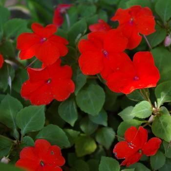 Фиттония - растение для вашего дома