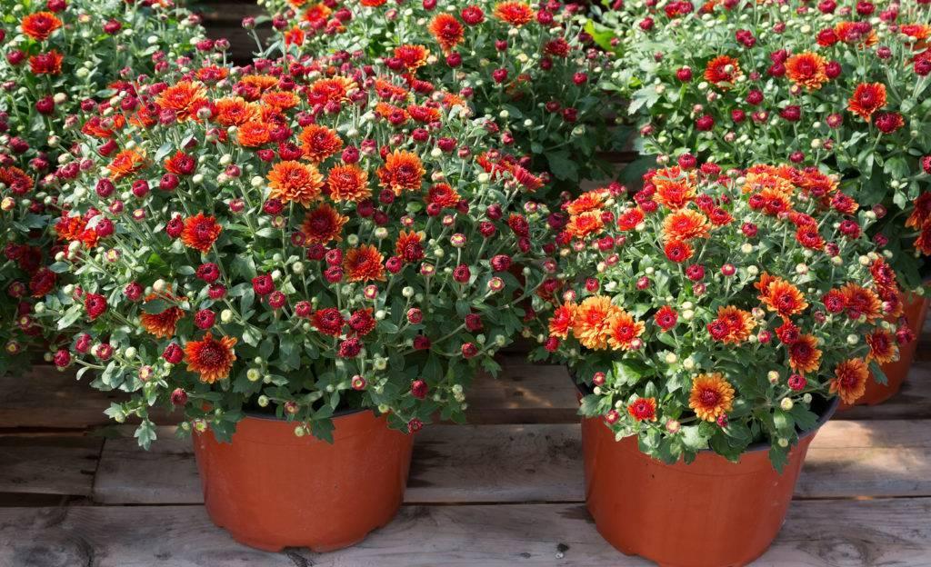 Мультифлора хризантема выращивание в домашних условиях в открытом грунте. хризантема мультифлора: посадка
