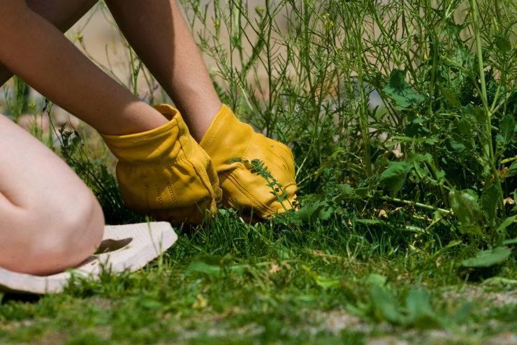 Эффективная борьба с осотом на огороде
