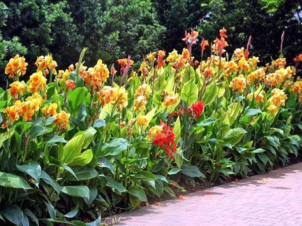 Виды и сорта канн, которые украсят ваш сад с лета и до морозов