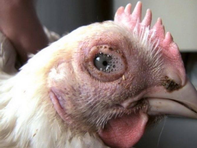 Болезни кур и их лечение