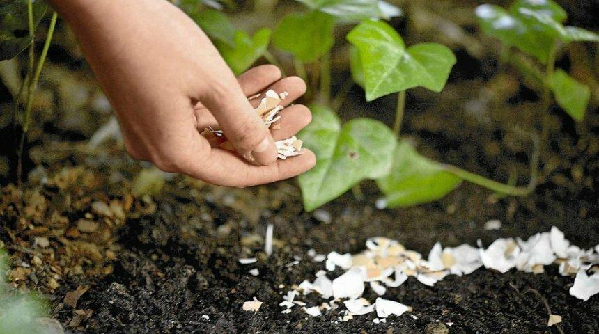 Используем яичную скорлупу для удобрения огорода