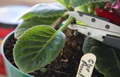 Можно ли получить шикарную глоксинию, если посадить ее листом, и как это сделать? укоренение и уход за цветком