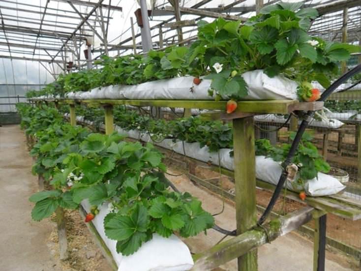 Голландская технология выращивания клубники для начинающих