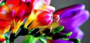 Фрезия посадка и уход в домашних. как правильно сажать фрезию: основные методы правильного выращивания. садовая и домашняя фрезия: особенности выращивания. видео