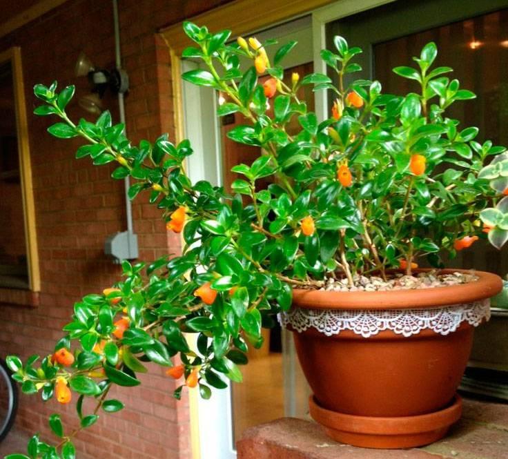 Нематантус или гипоцирта: описание растения, а также секреты ухода и размножения дома