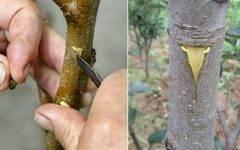 Как самостоятельно привить грушу