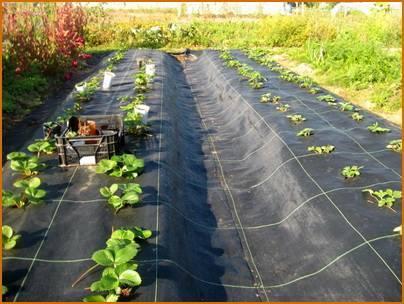 Правила посадки клубники в открытый грунт весной летом и осенью схемы посадки фото и видео