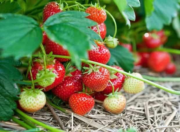 Любит ли клубника навоз: способы подкормки ягодных кустов органикой
