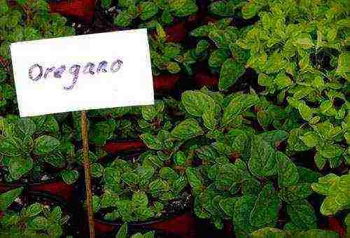 Выращивание душицы из семян в домашних условиях. душица: выращивание из семян. посев семян в открытый грунт
