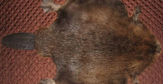 Обработка шкуры лисы