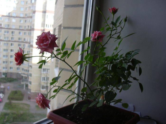 Как научиться укоренять розы из подаренного букета
