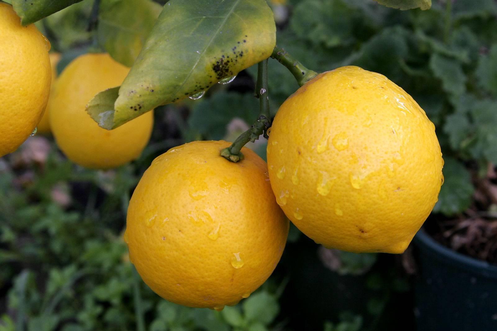 Как заставить лимон плодоносить и будет ли это делать без прививки выращенное из косточки или черенка деревце?
