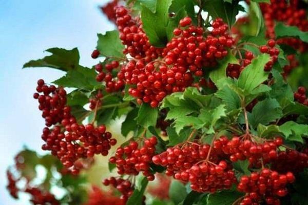 Как сажать калину: методы размножения, болезни и вредители, виды растения