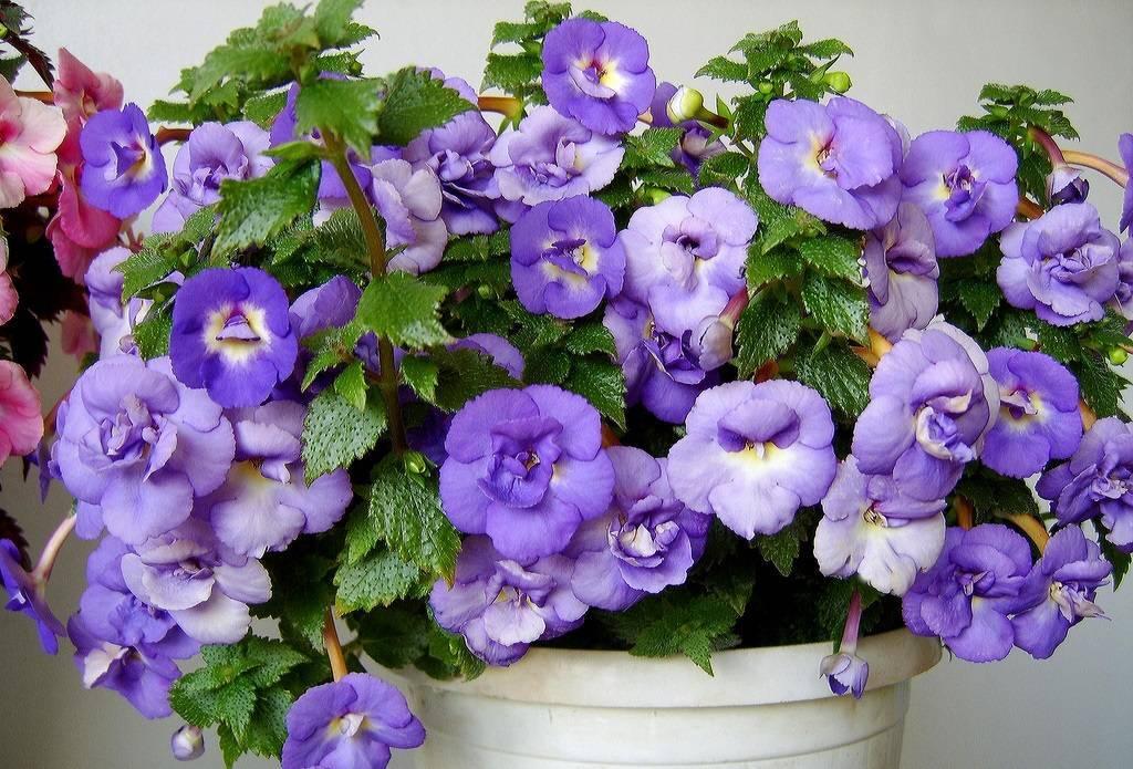 Платикодон крупноцветковый: правила выращивания из семян