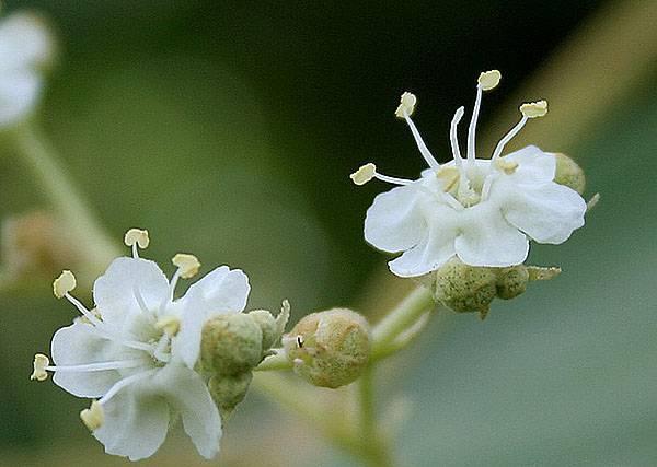 Тиковое дерево — лечебные свойства, применение в медицине и производстве, видео