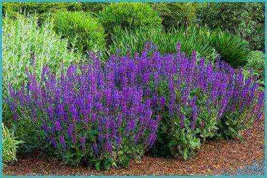 Шалфей (сальвия многолетняя) — «декоративный лекарь»: посадка и уход в саду