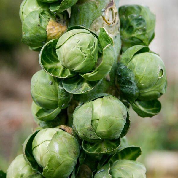 Секреты выращивания брюссельской капусты в открытом грунте. какой уход требуется культуре?