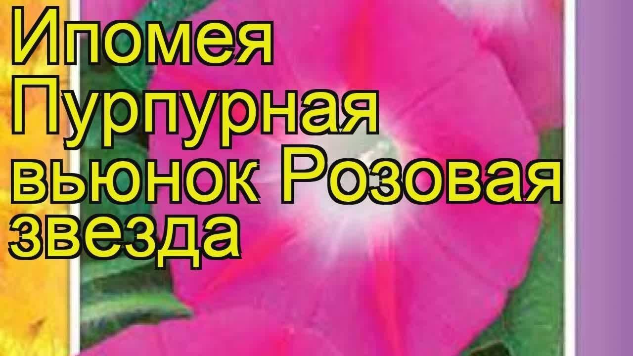 Цветок «ипомея пурпурная»: посадка и уход в открытом грунте + фото