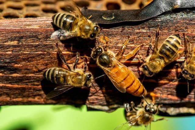 Все о диких пчелах: их вреде и пользе