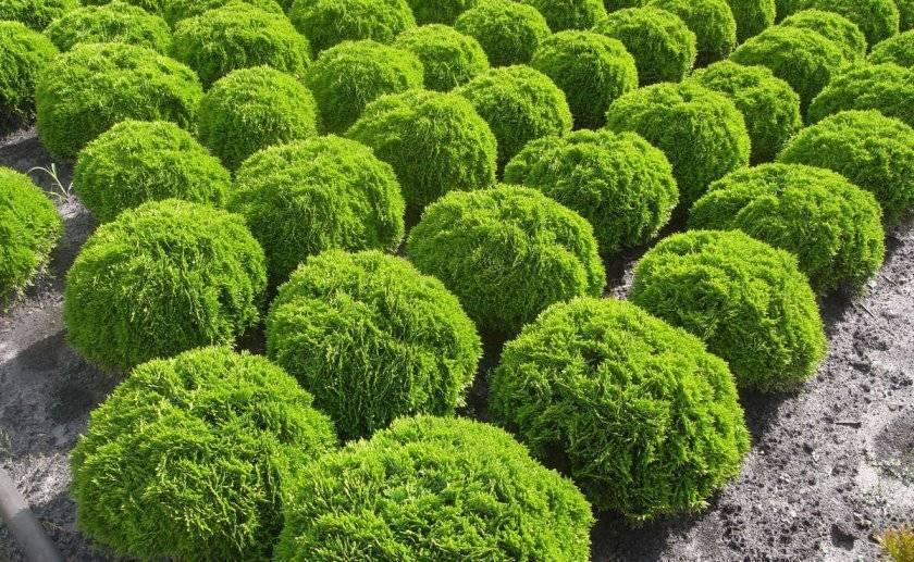 Изюминка сада: туя с шаровидной формой кроны