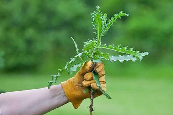 Борьба с осотом на картофеле: методы, средства и гербициды