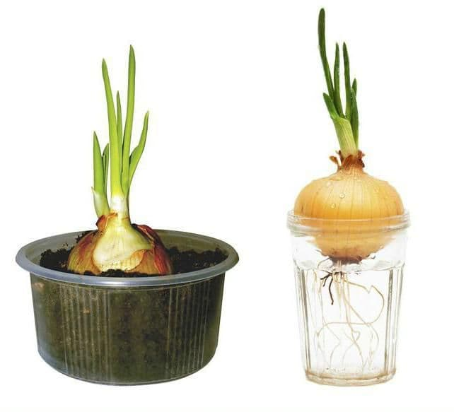 Можно ли вырастить лук на подоконнике? как посадить в землю, опилки и иными способами?