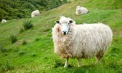 Разведение овец как бизнес, с чего начать, как преуспеть