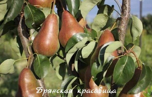 Питательный и полезный сорт груши Елена в нашем саду