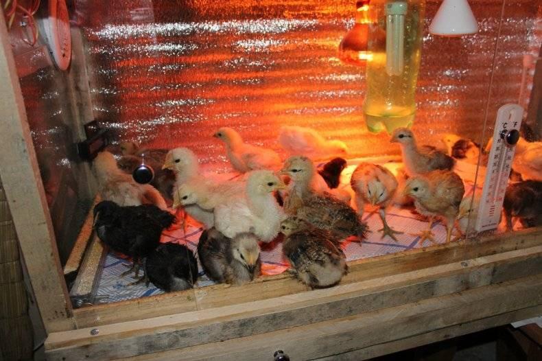 Оптимальная температура для содержания цыплят в первые дни жизни