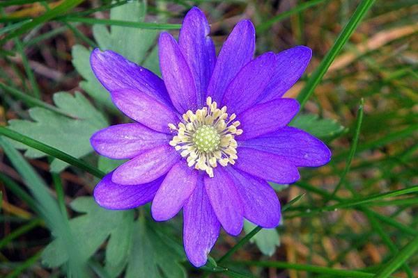 Анемоны, цветущие летом