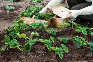 Выращивание рассады земляники из семян в домашних условиях
