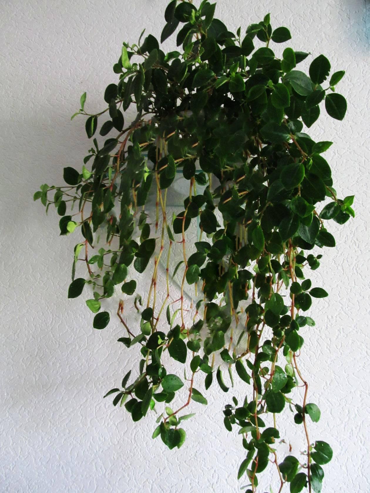 Уход, размножение и выращивание пеперомии туполистной в домашних условиях и в саду