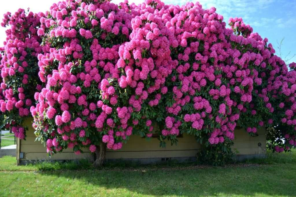 Рододендрон: это что такое, сколько цветет по времени
