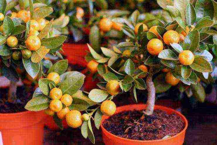 Цитрусовые растения: виды и особенности выращивания
