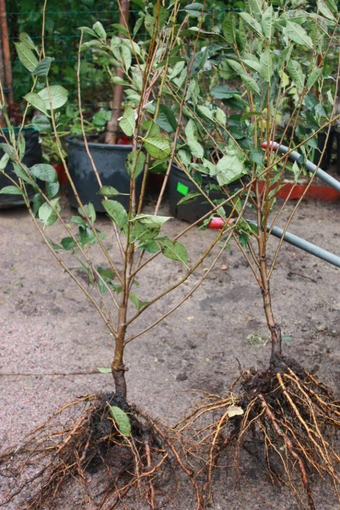 Сроки и правила посадки дерева вишни для начинающих