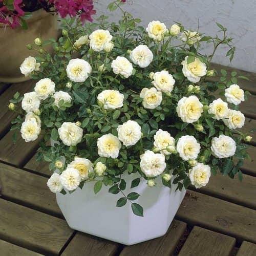 7 способов оживить розы, которые начали вянуть в вазе