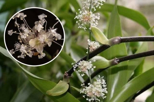 Золотой ус - выращивание и лечебные свойства